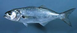 Blaufisch