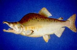 Buckellachs - Pink Salmon