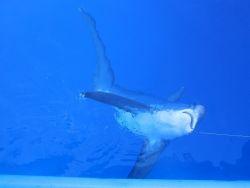 Fuchshai