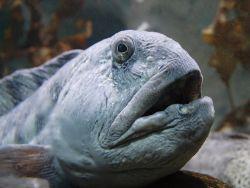 Katfisch