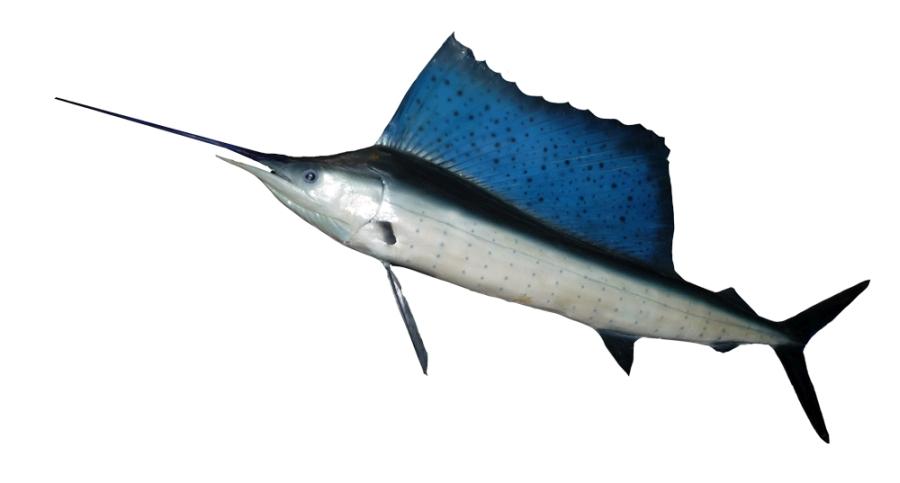 Fächerfisch (Istiophorus platypterus)